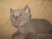 Британские котята с отличной родословной